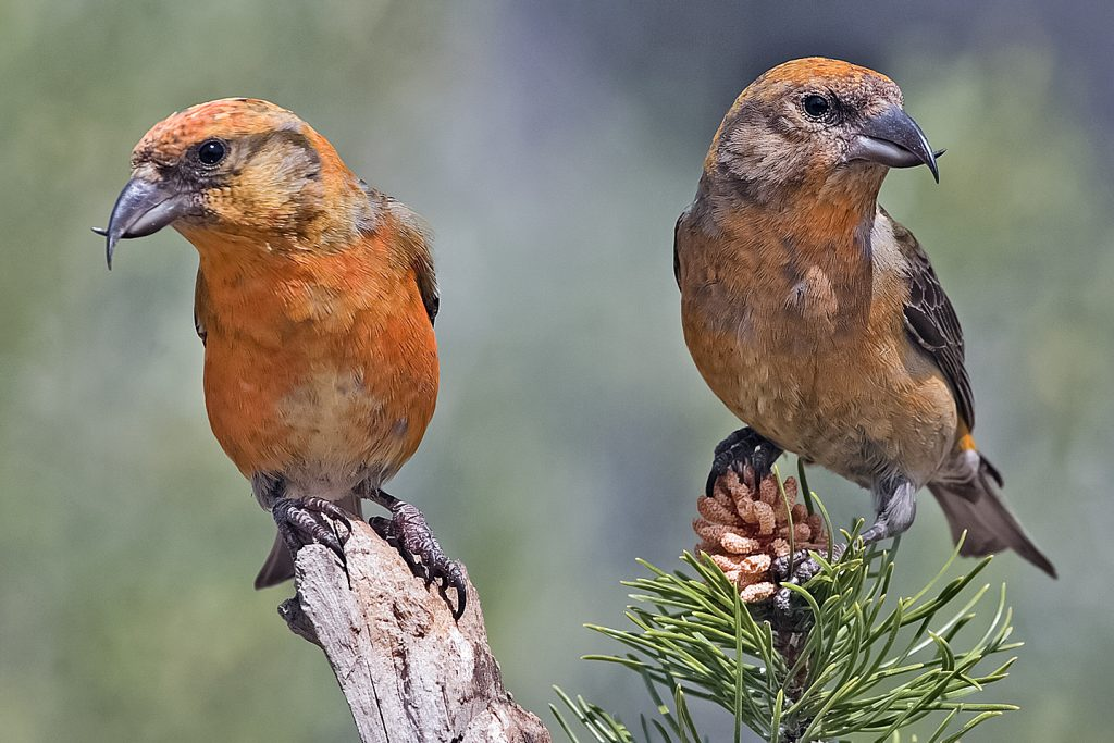 two red crossbills on a pine branch