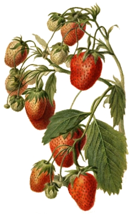 Parker Earle (strawberry) watercolor drawn in 1890 by Deborah Griscom Passmore
