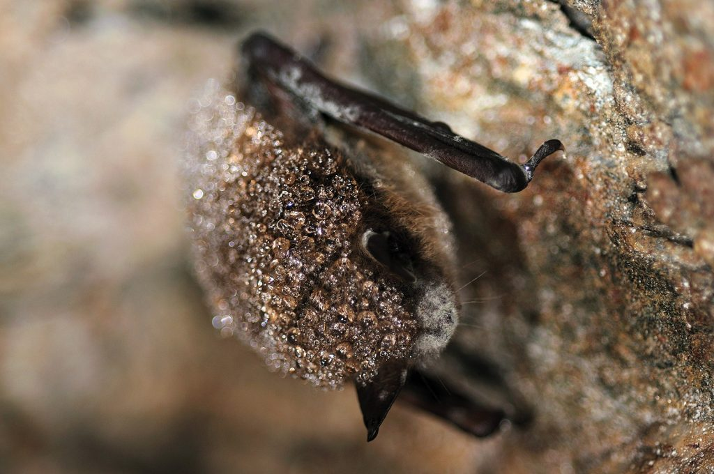 A close up on the fuzzy, brown face of a dead bat. The top of the hairs on it's body are white