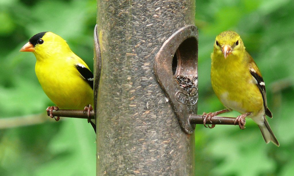 Male (left) and female (right) American Goldfinches (Carduelis tristis) at a thistle feeder.