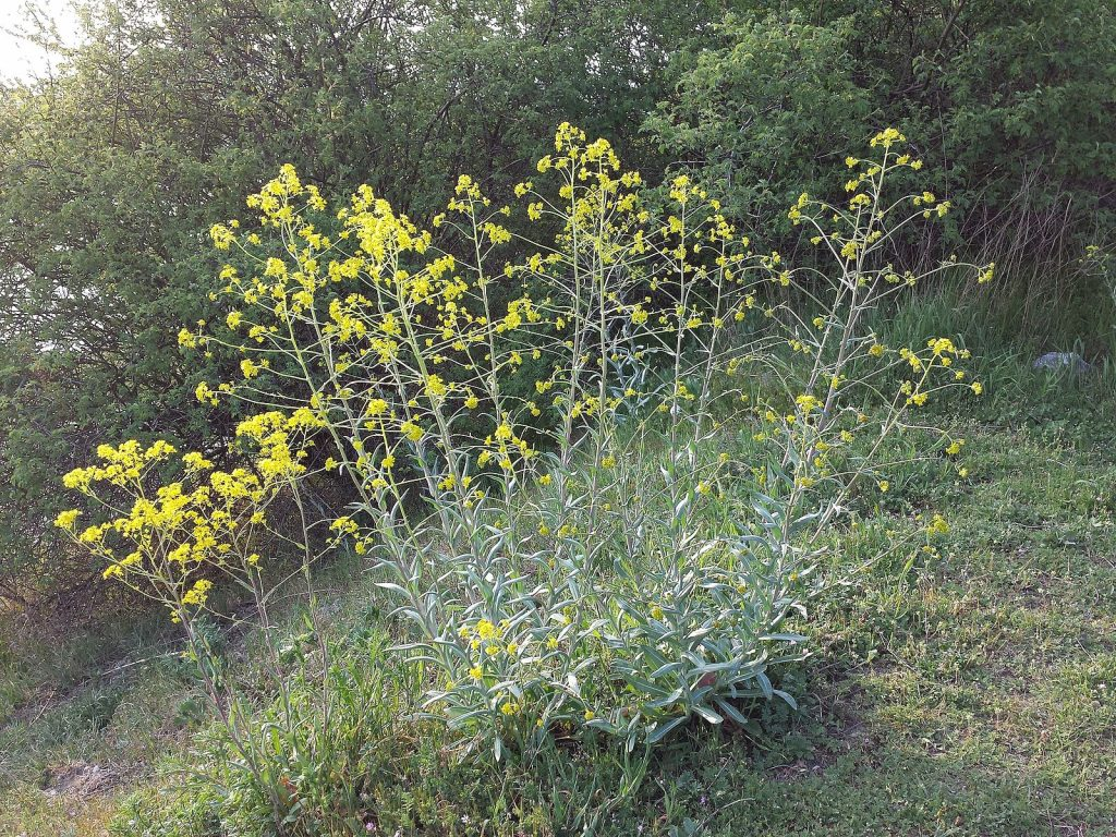 a weed with yellow flowers