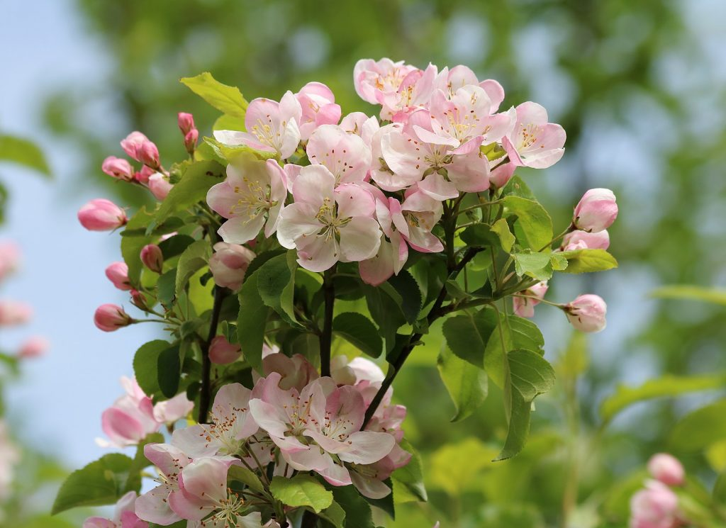 pink apple blossoms in various stages of blooming
