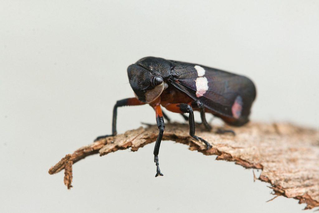 a black leaf hopper on a piece of bark