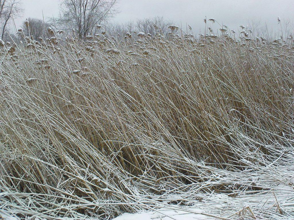 weeds in a snowy marsh