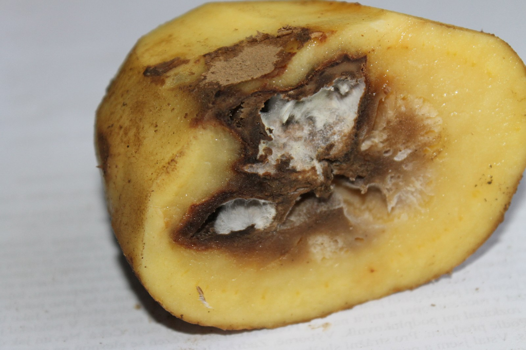 the cross section of a potato