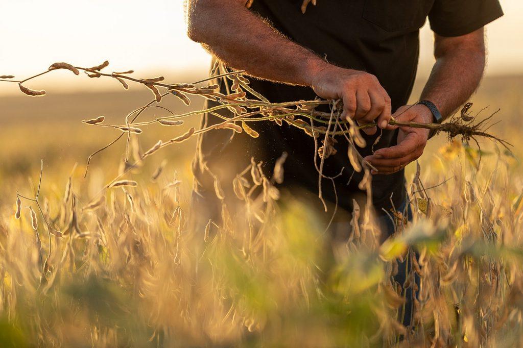 a farmer inspects a soybean plant