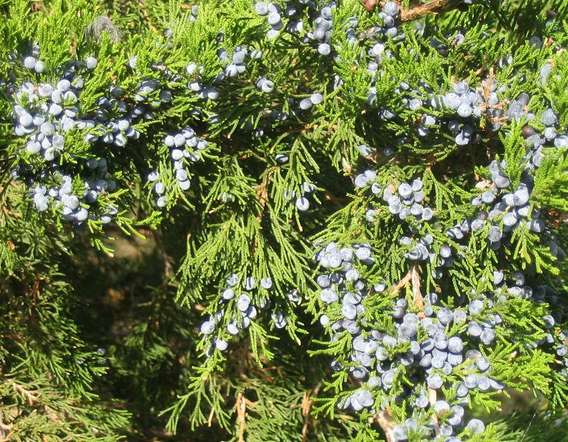 Juniperus virginiana in October laden with ripe cones