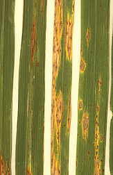 Close up of long rice leaves with yellow and brown blast disease beginning