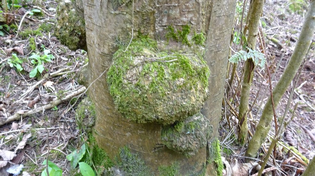a spherical growth on the trunk of a tree