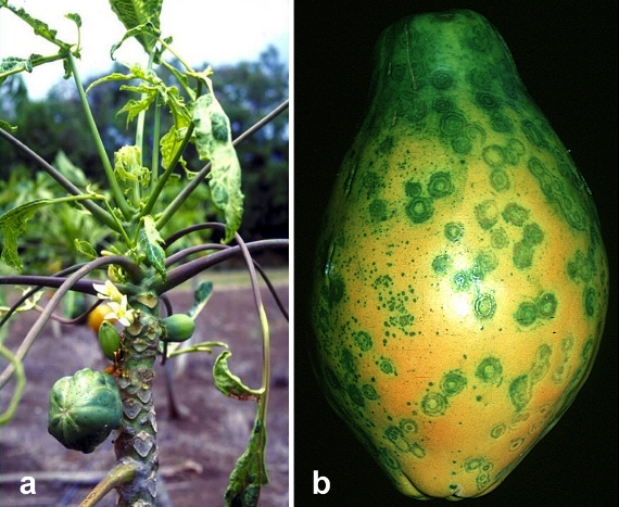 on the left the papaya plant, and on the right a close up of a papaya with green spots