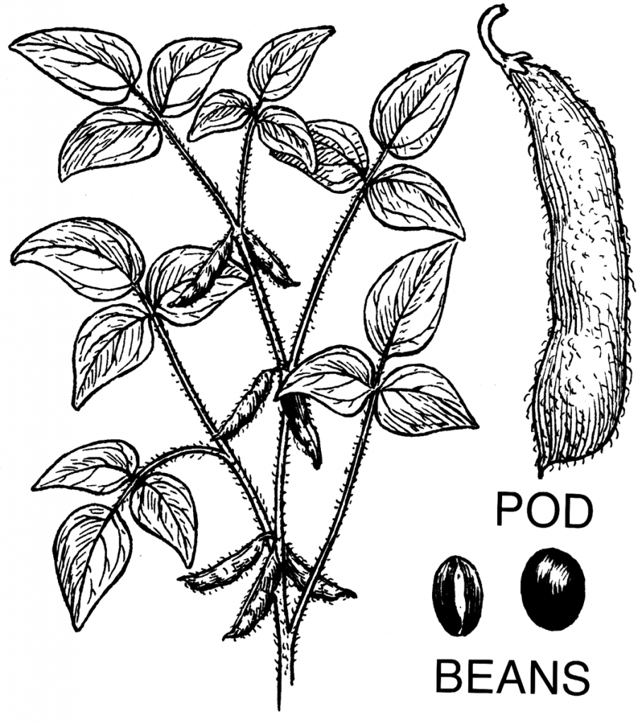 a drawing of the soybean plant, pod and beans