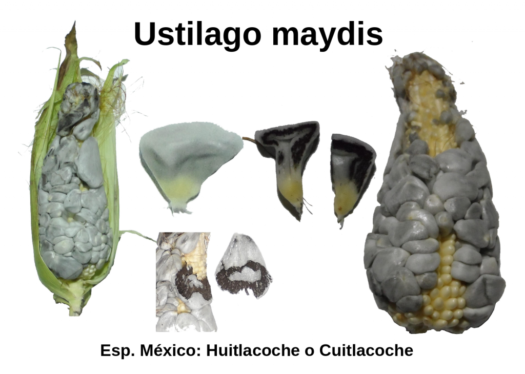 Sample of different aspects of a corn ear infected by the fungus Ustilago maydis, known in Mexico as Huitlacoche.