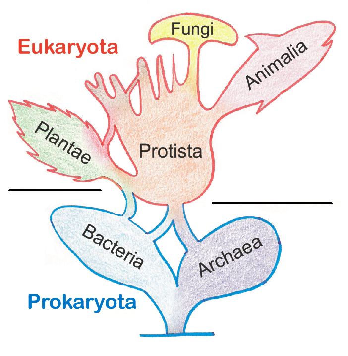 a diagram showing prokaryota on the bottom with Bacteria and archaea noted, and Eukaryota on the top, noting protista with fungi, animalia, and paltae as offshoots