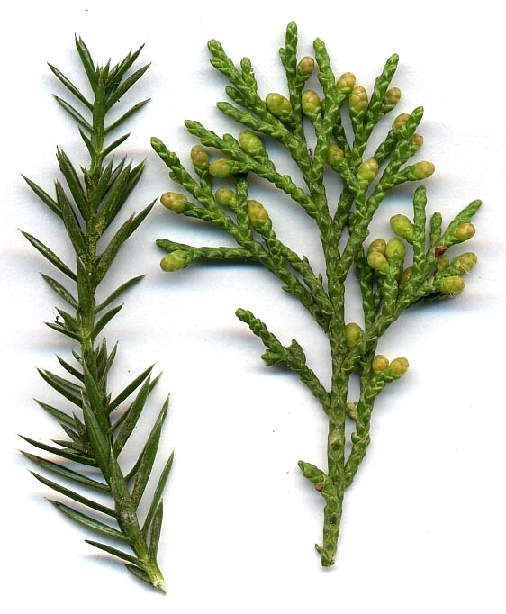 Detail of Juniperus chinensis shoots, with juvenile (needle-like) leaves (left), and adult scale leaves and immature male cones (right)