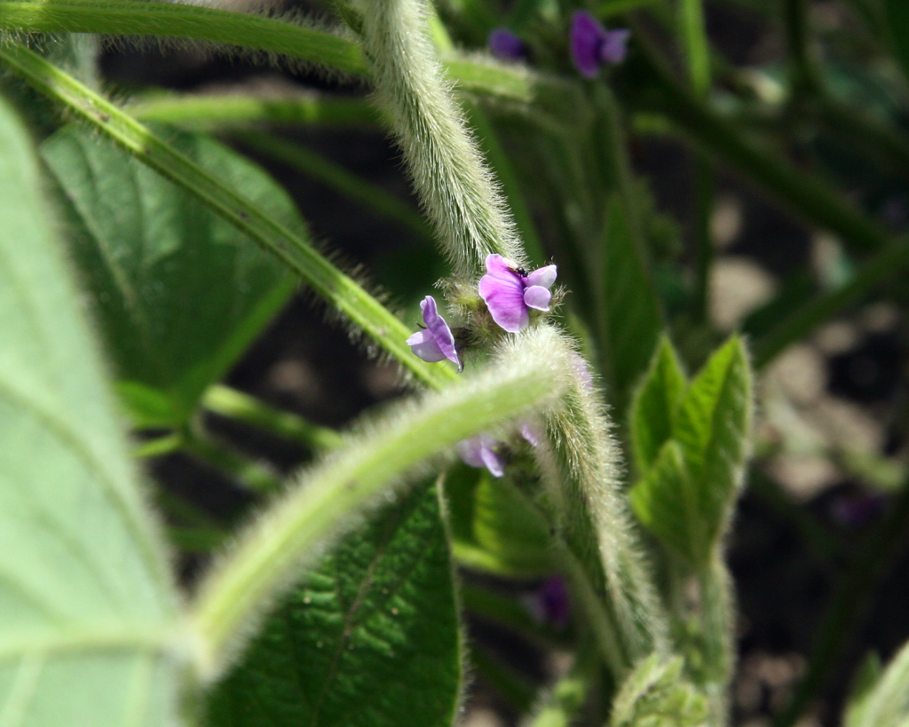 A small insect sits on the purple flower of a soybean plant near the town of Flora, Indiana