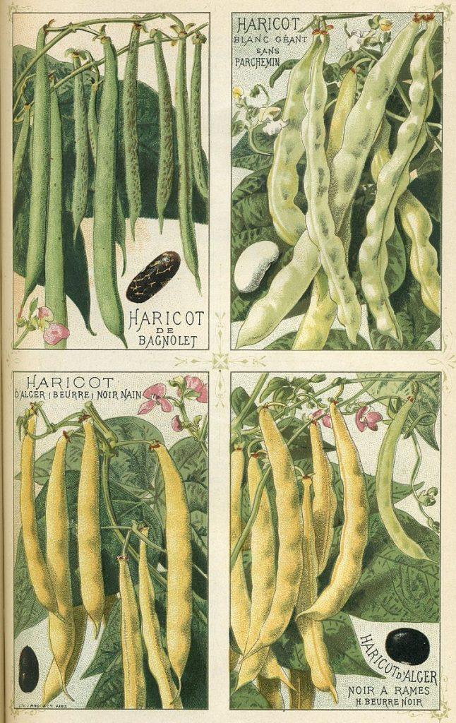 Varieties of beans (Phaseolus vulgaris) published in Les Plantes Potagère Vilmorin-Andrieux et Cie, 1891. 1. Haricot de Bagnolet; 2. Giant white bean without parchment; 3. Algiers bean, dwarf black (butter); 4. Algiers bean, black reamed, black butter bean.