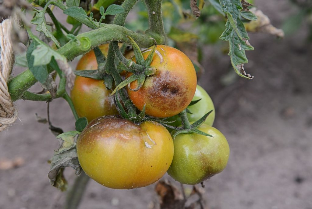 a cluster of tomatoes with brown blight beginning on them