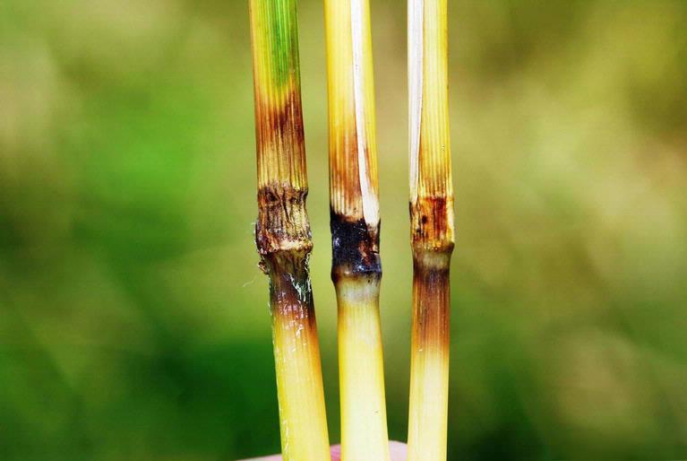 Photo of rice blast symptoms on rice stalks