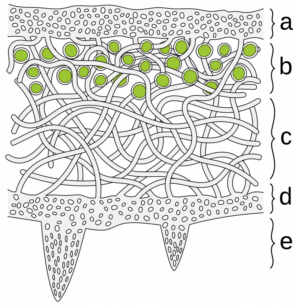 A diagram of a cross section of lichen, the upper layer, layer containing green algae circles, a losely packed web of hyphae, lower cortex, and poking rhizines coming out