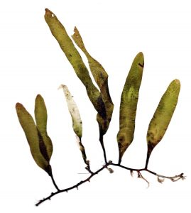Five dark green blades (one which has a discolored white tip) of Caulerpa of varying sizes linked by one thin, dark brown stolon which are fixed to the sandy substrate by rhizoids