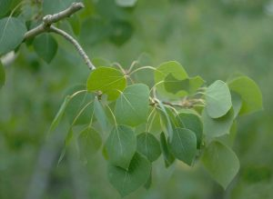 High definition photo of the branch of a tree with tear-shaped bright green leaves