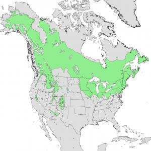 A map showing the range of Populus temuloides in green, it mainly grows in Canada and North Eastern US and Alaska, but there are pockets of growth in Western US and Mexico