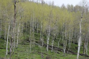 A forest of Aspen trees with white bark with black sections and each growing yellow-green foliage
