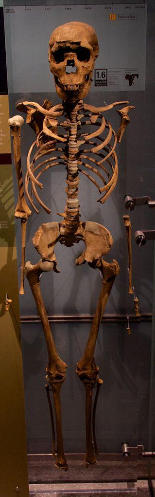 Turkana Boy at the American Museum of Natural_History
