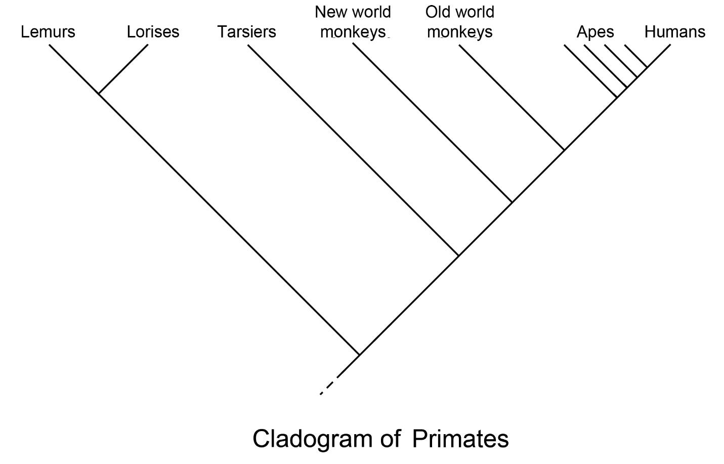 cladogram of primates